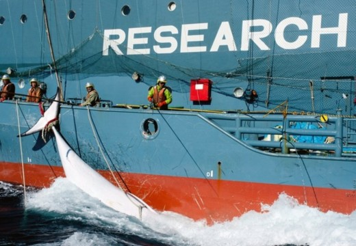 « RED CARD » : Le Japon reprend la chasse à la baleine