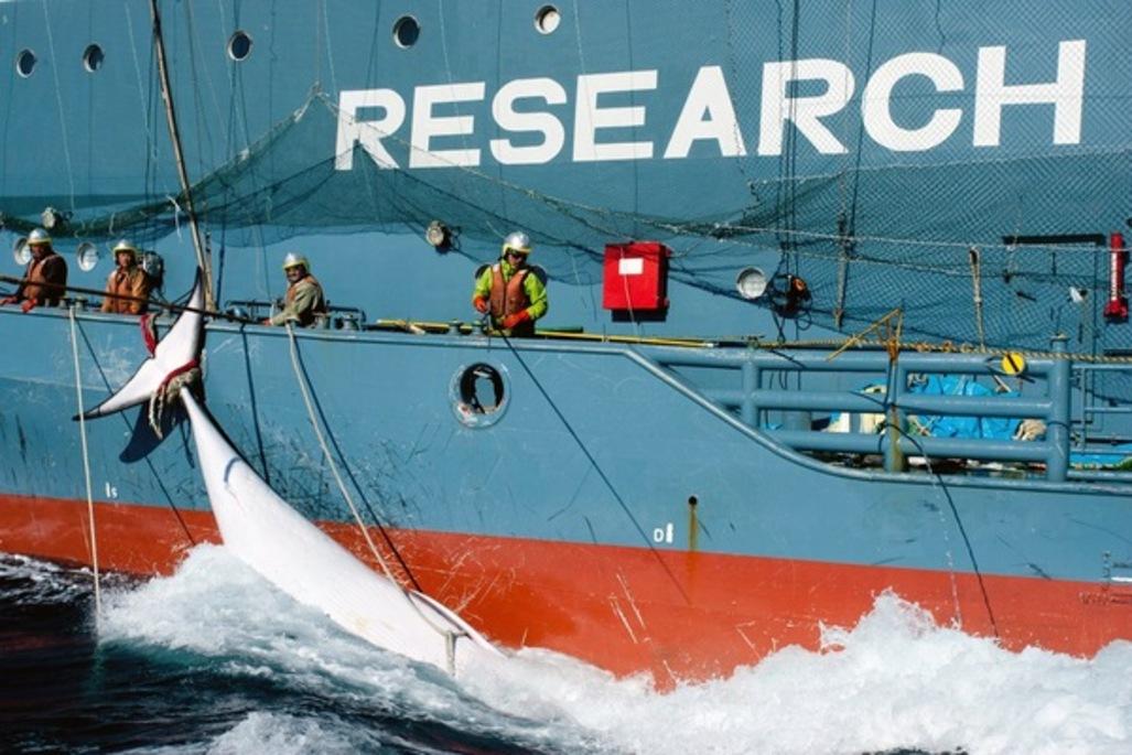 Plus-de-chasse-a-la-baleine-en-Antarctique-pour-le-Japon_article_popin